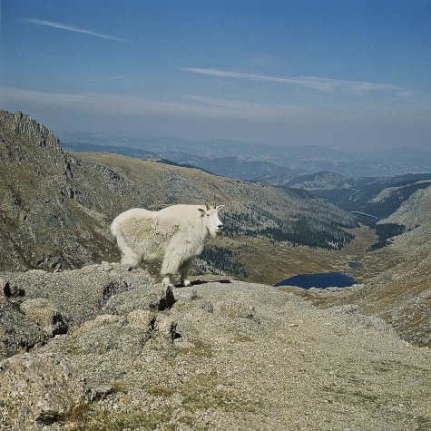 art prints - Colorado Mountain Goat by Dominique Roche