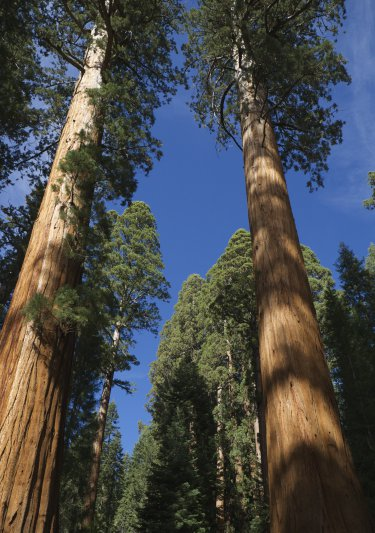 art prints - Sequoias Aiming High by Dominique Roche