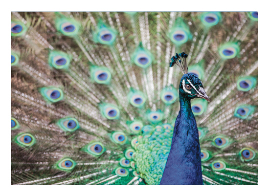 art prints - Peacock at the Zoo by Jonathan Howard