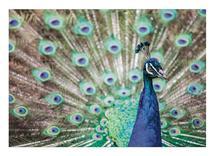 Peacock at the Zoo by Jonathan Howard