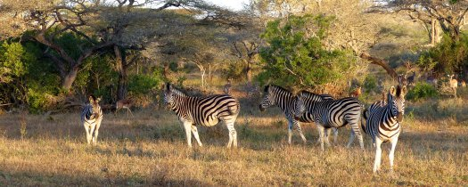 art prints - Dazzle of Zebras by Dominique Roche