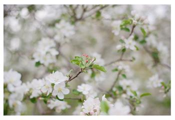 Apple Blossoms: Waiting