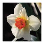 Daffodil by Debbie Fieno