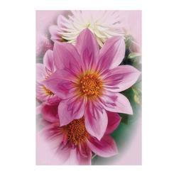 Star Pink Dahlia
