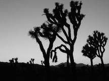 Joshua Tree B&W 1 by Timothy Cochran