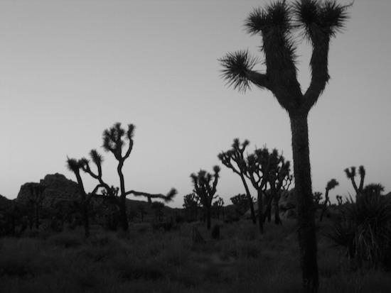 art prints - Joshua Tree B&W 2 by Timothy Cochran