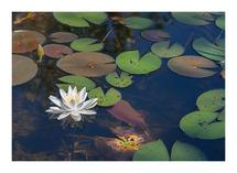 Water Lily by Lucian