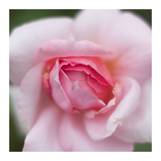 art prints - Pink Rose by Lucian