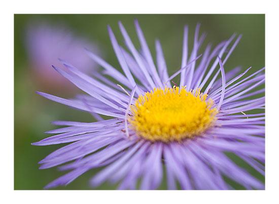 art prints - Purple Bloom by Lucian
