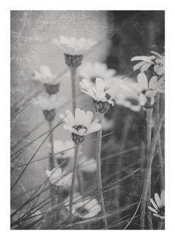 summer daisies one
