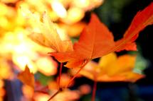 Orange Leaf by L. Manas
