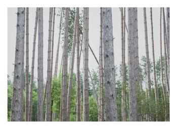 Knotty Pine Study 3