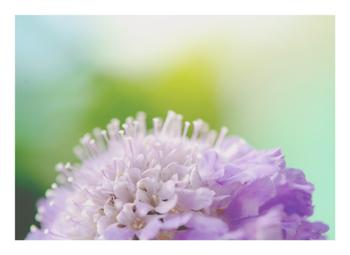 SCABIOUS TWO