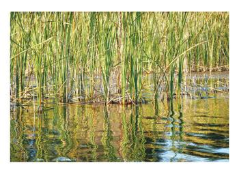 Swamp Grass and Reflections