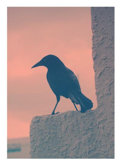 art prints - Blackbird by Gray Star Design