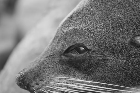 art prints - Seal- Black & White- New Zealand Series by Dennis Landry
