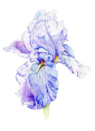 art prints - Siberian Iris . Watercolour by LARAND