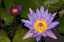 Purple Water Lily by Niki Mangino