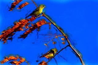 Arizona Goldfinches