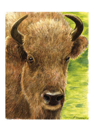 art prints - Buffalo Study by Amy Downs