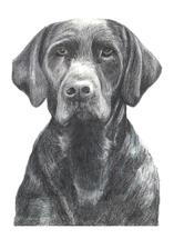 Black Lab by Amy Downs