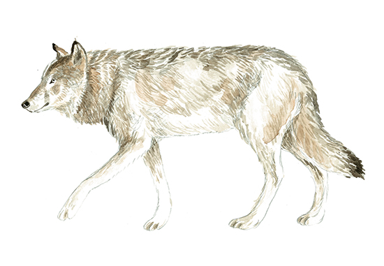 art prints - Wolf Watercolour Study by Eve Schultz