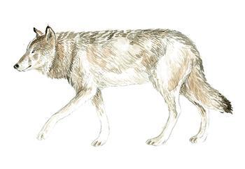 Wolf Watercolour Study