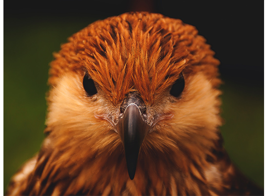 art prints - Whistling Kite by Harrison Backers