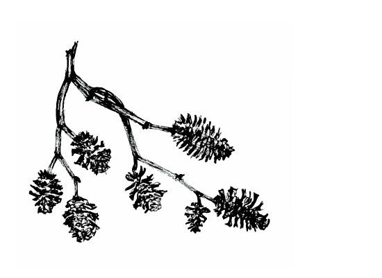 art prints - Alder Seeds by Anne Butera