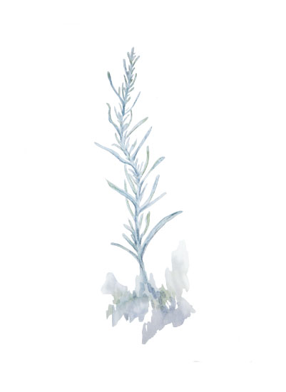 art prints - White Sage by Larkspur and Laurel