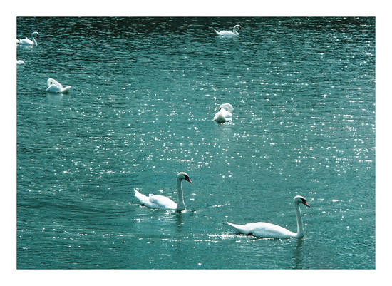 art prints - Swan lake by Nadinda