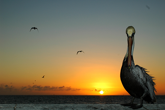 art prints - Pelican Pride by aostrom4