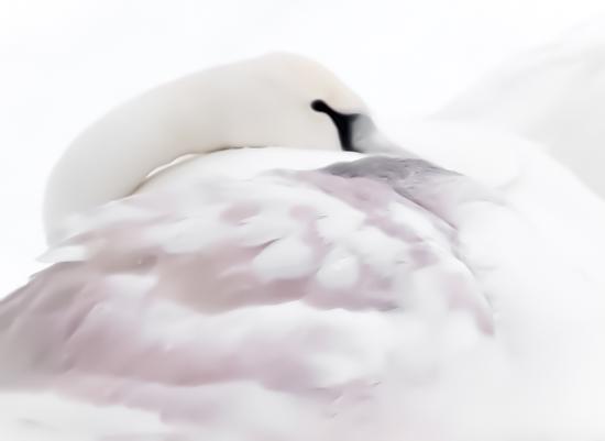 art prints - Snowy Swan by by Kim M. Herzog Photography