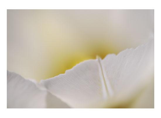 art prints - White Petal by Sarah Surette