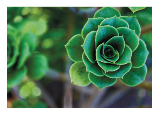 art prints - Rose leaves succulent by Carrie Lee