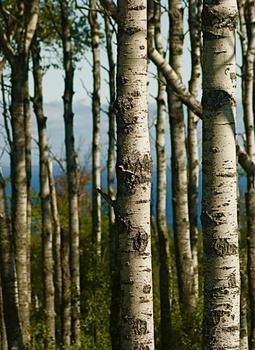 Northern Birch