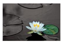 Waterlily by Victor Rafael