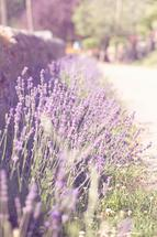 French lavender by Mareike von Engelbrechten