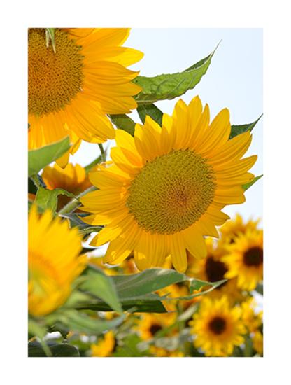Art Prints Sunflower Morning At Minted Com