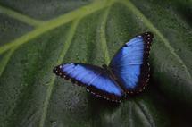 Iridescent Blue Butterf... by Bonnie Masdeu