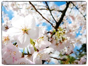 Cherry Blossom 02 - Spring Joy
