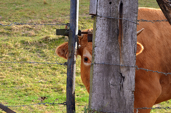 art prints - I can see you...Peak-a-Boo Cow by Madeleine