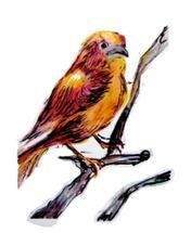 Barese Parakeet by Sara Marie