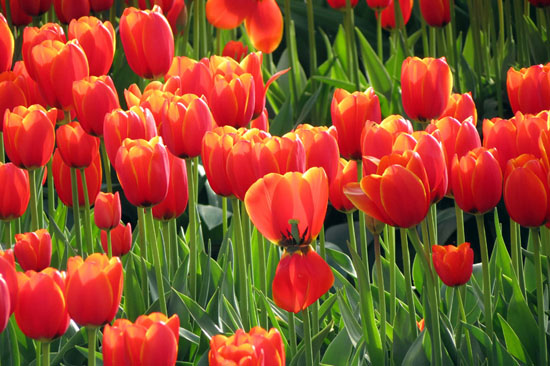 art prints - Red Tulips by Berta Manevich