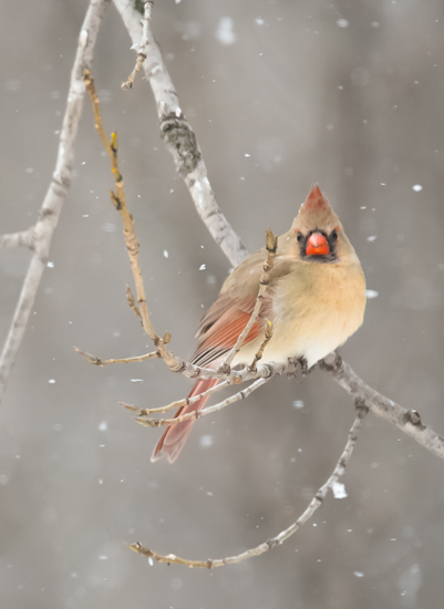 art prints - Cardinal in Snowstorm by by Kim M. Herzog Photography