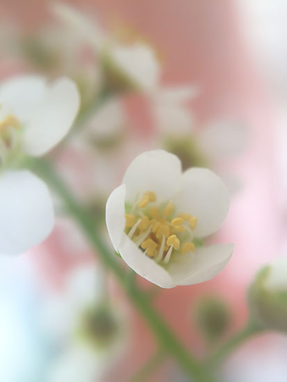 art prints - Dainty Petals by Jennifer Ritterman