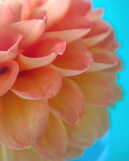art prints - Hello, Dahlia by Jennifer Ritterman