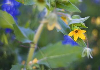 Star of Texas Wildflower