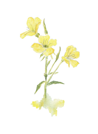 art prints - Yellow Evening Primrose by Larkspur and Laurel