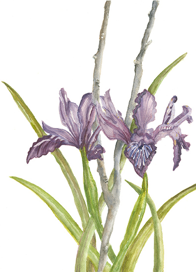 art prints - Wild Iris in the Hills by Ellen Gordon